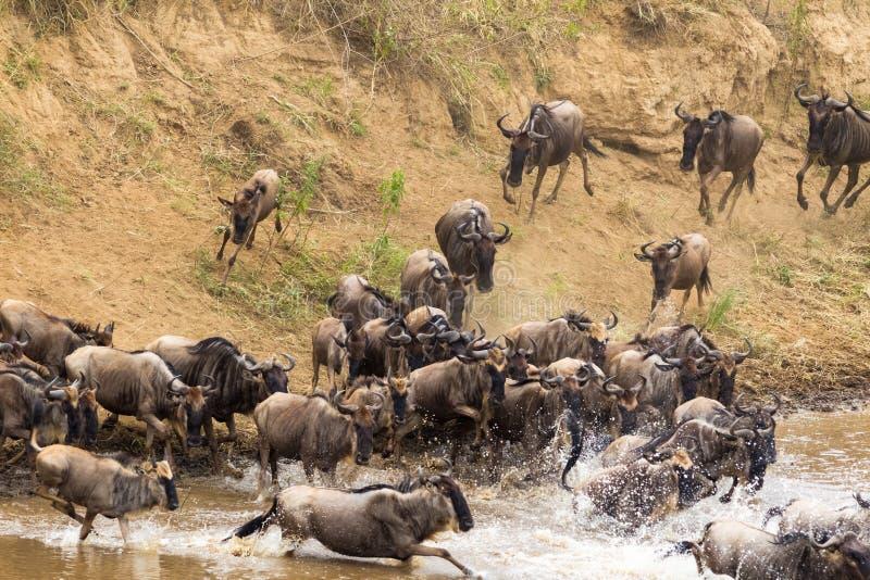 Mover-se com o obstáculo da água Rebanhos do gnu em Mara River Kenya, África imagens de stock