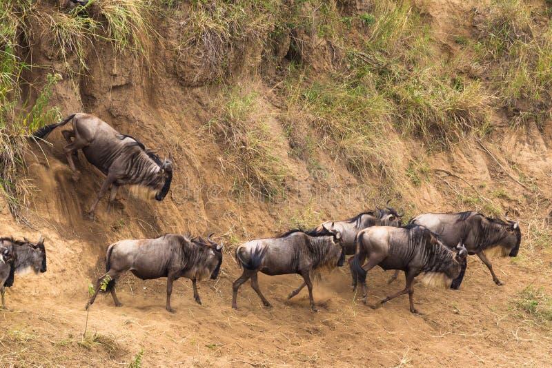 Mover-se com o obstáculo da água Rebanhos do gnu Kenya, África fotografia de stock