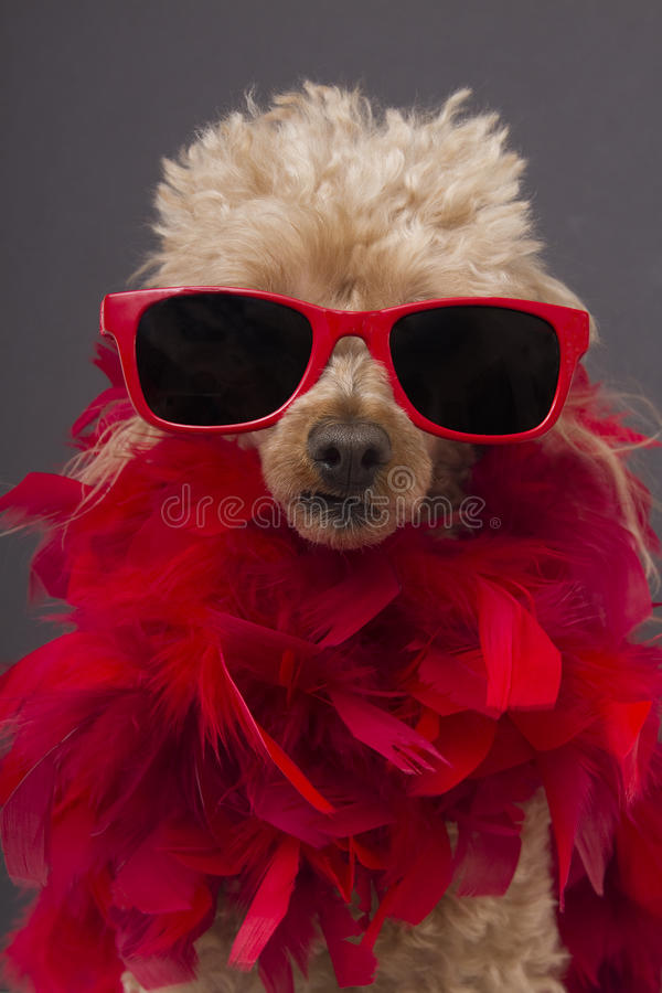Movie Star. A poodle dressed up like a glamourous movie star wearing red sunglasses and a red feather boa, isolated on a gray background royalty free stock photos