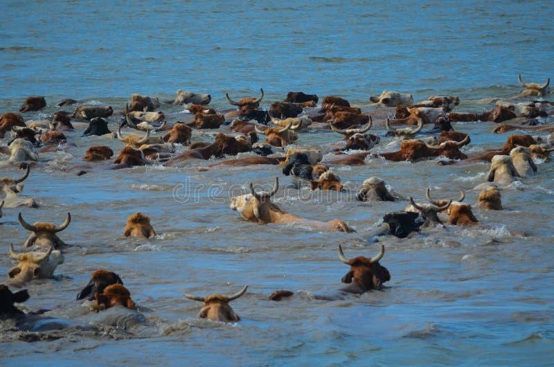 Movimentação do gado através do Rio Colorado imagens de stock