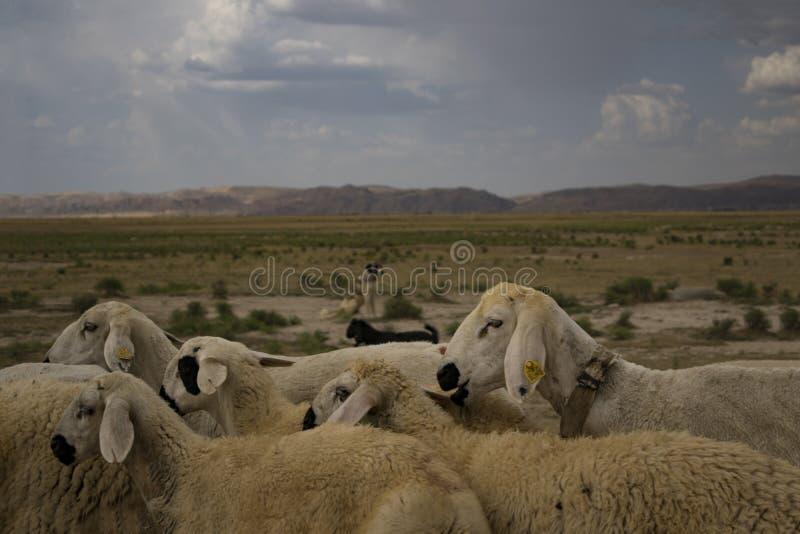 Movimentação do ` s dos carneiros foto de stock royalty free