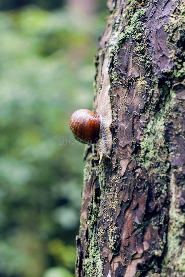 Movimenti striscianti grandi di una lumaca lungo l'albero immagine stock libera da diritti