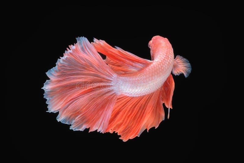 Movimento de peixes de Betta, siamese foto de stock