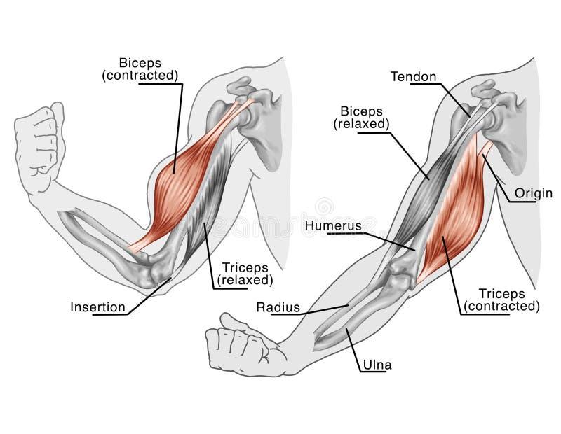 Movimento dei muscoli della mano e del braccio illustrazione vettoriale
