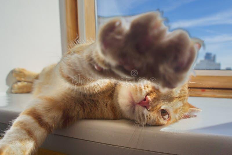 Movimento do perigo do gato vermelho foto de stock royalty free