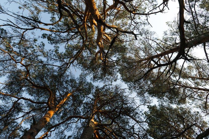 Movimiento de la c?mara del c?rculo de la tierra que hace frente al cielo con los ?rboles de pino y al cielo azul claro durante l imágenes de archivo libres de regalías