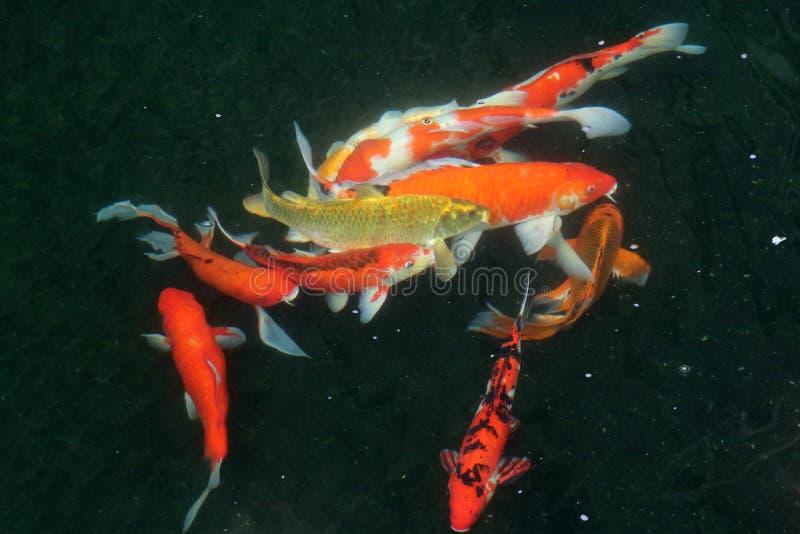 Movimiento de muchos pescados coloridos de la carpa en el agua foto de archivo libre de regalías
