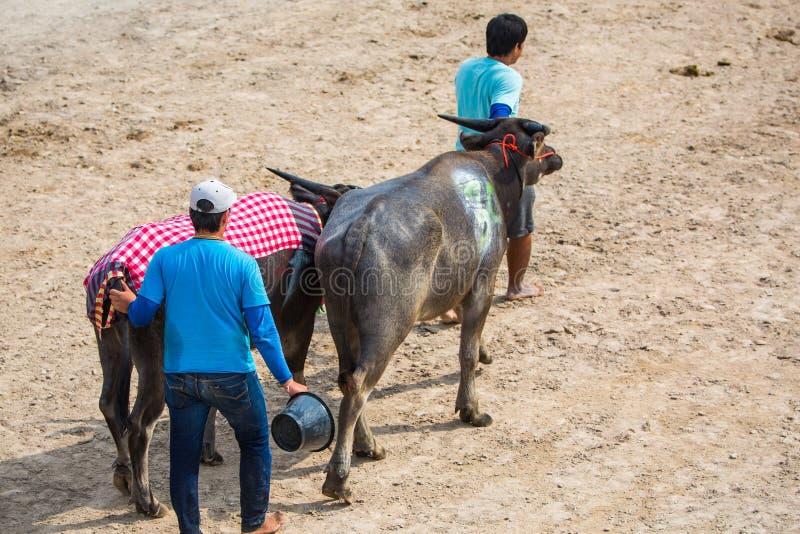 Movimiento del búfalo a las paradas el comenzar fotos de archivo