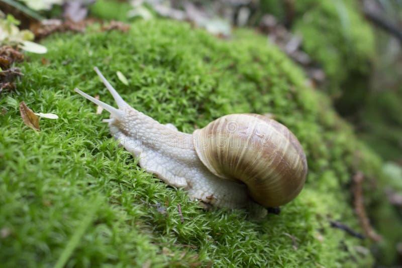 Movimiento del caracol en un musgo verde foto de archivo libre de regalías