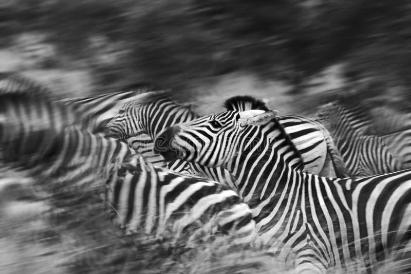 Moving зебры стоковые изображения