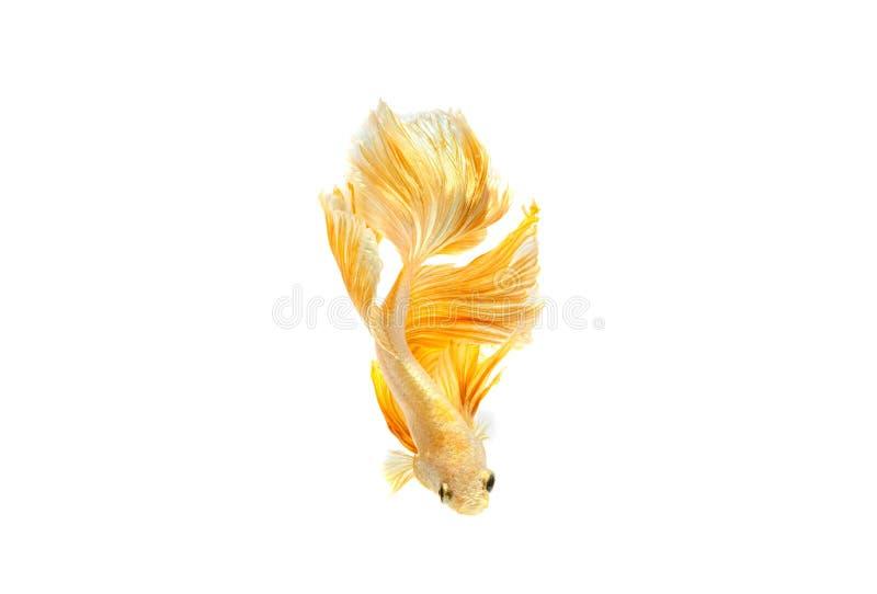 Moving момент рыб золота сиамских воюя стоковые фото