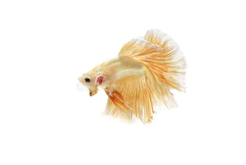 Moving момент рыб золота сиамских воюя стоковое изображение