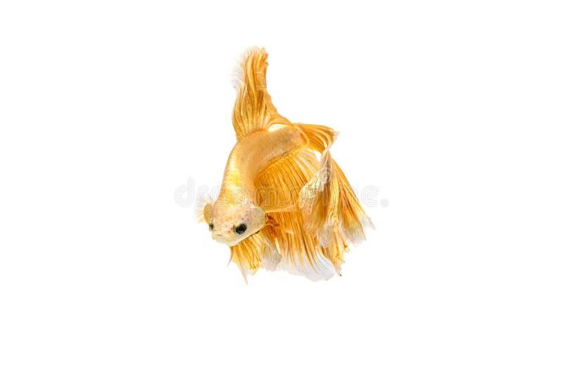 Moving момент рыб золота сиамских воюя стоковые изображения
