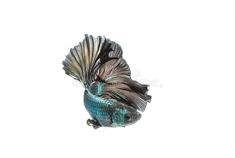 Moving момент сиамских воюя изолированных рыб стоковые фотографии rf