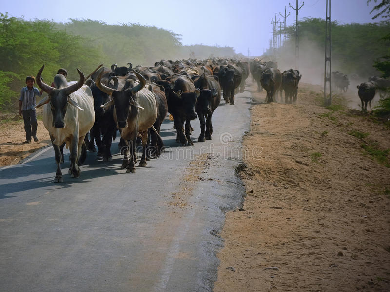 Moving cattle in rural Gujarat royalty free stock image