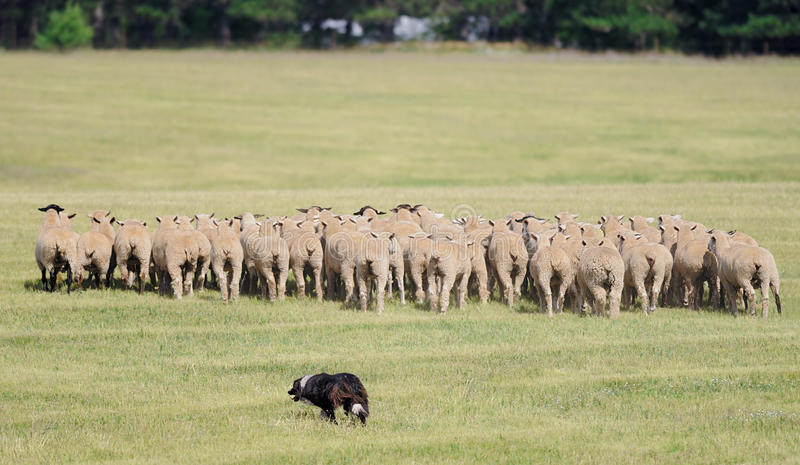 Moving the Sheep (Ovus aries) Herd. Sheep herding dog takes herd of sheep away across pasture - motion blur stock photos