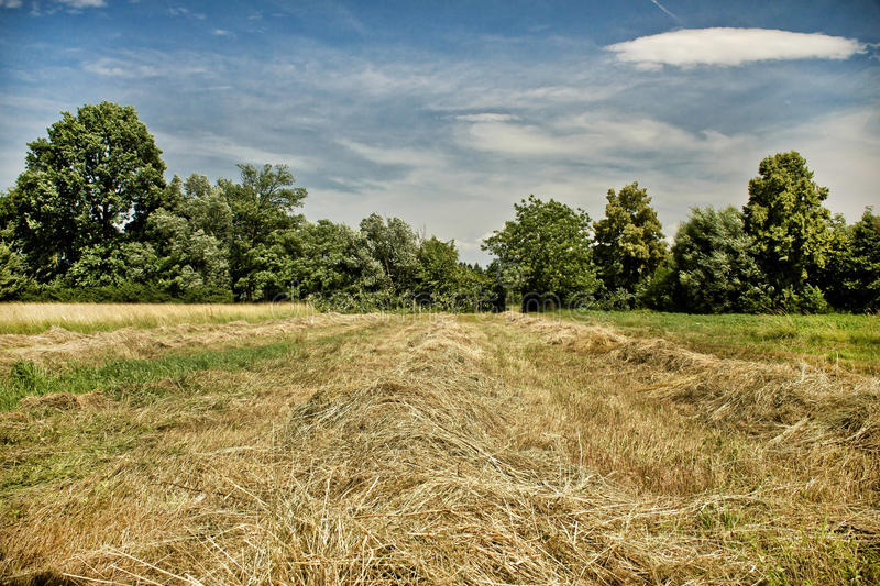 Mowed golden hay field under blue sky. And green trees royalty free stock image