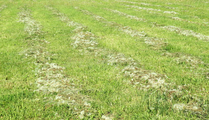 Mowed grass in summer stock photo