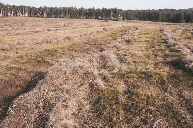 Mowed hay lies in rows on the field. In the distance is a forest. Selective focus in the foreground. The background is blurry stock photography