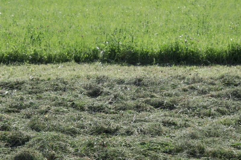 Mowed and not mowed grass in the meadow. Part of lawn has been cut and other part was not cut stock photography