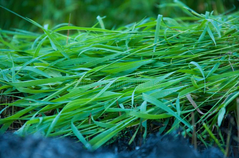 Mowing bright green tall grass. Lies on the ground. Summer royalty free stock photography