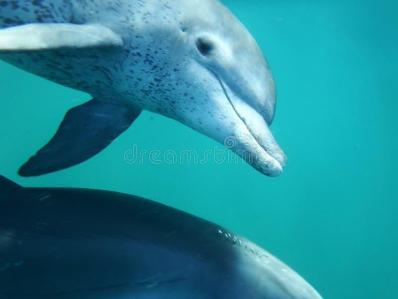 Mozambik delfin obraz stock