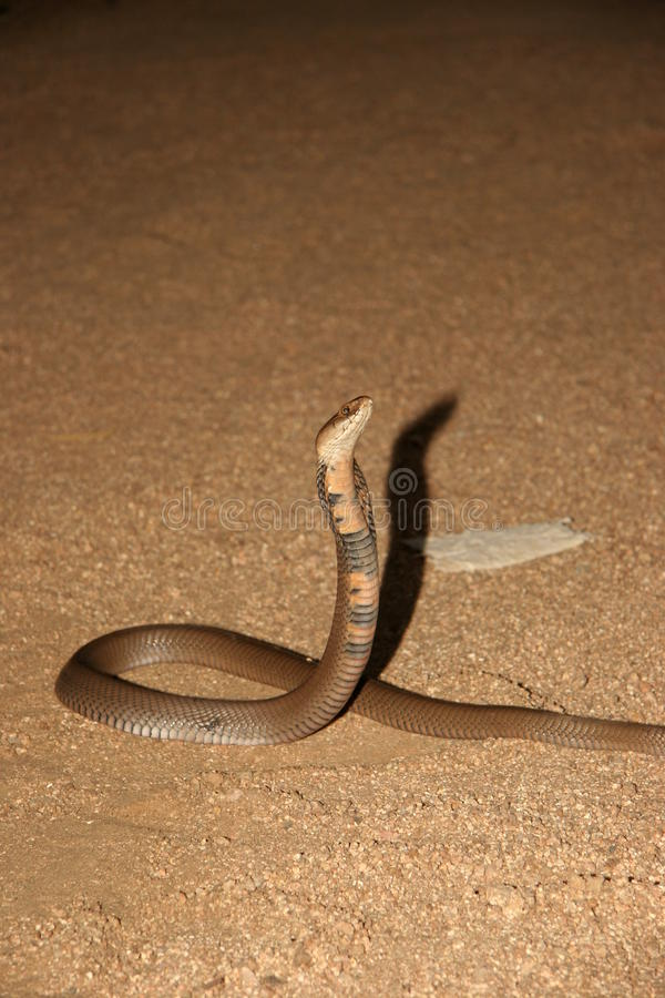 Mozambik plucia kobra zdjęcia stock