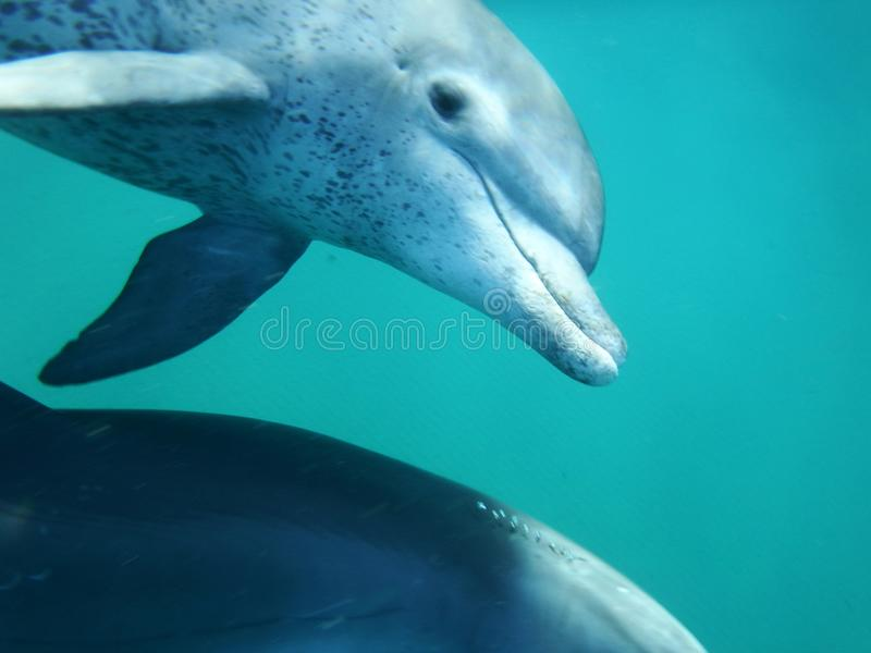 Mozambique Dolphin stock image