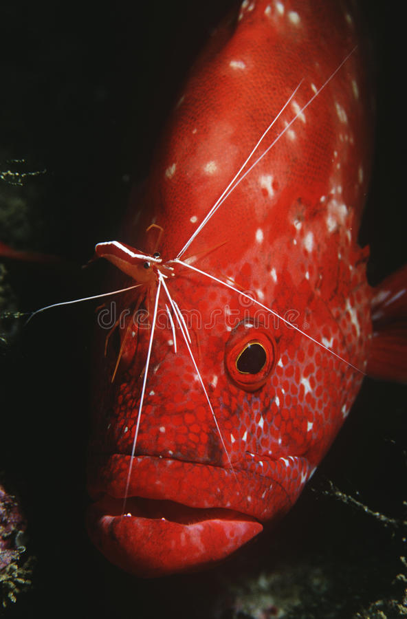 Free Mozambique Indian Ocean Tomato Rockcod (Cephalophlis Sonnerati) Being Cleaned By Cleaner Shrimp (Lysmata Amboinensis) Close-up Stock Photography - 30847802