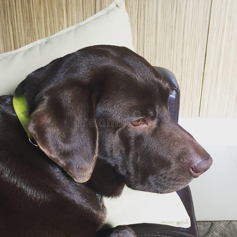 Mozart le Labrador photo stock