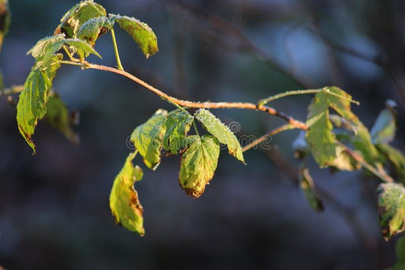 Mróz na liściach w Listopadzie zdjęcia stock