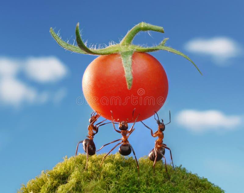 mrówek żniwa czerwieni drużyny praca zdjęcie royalty free