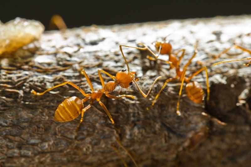 mrówek czerwieni tkacz zdjęcie stock