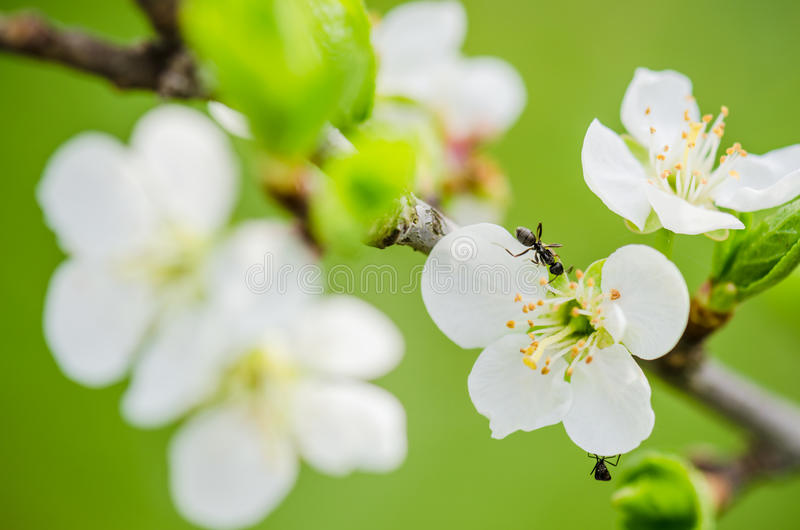 Mrówka biega na kwitnie gałąź śliwka fotografia stock