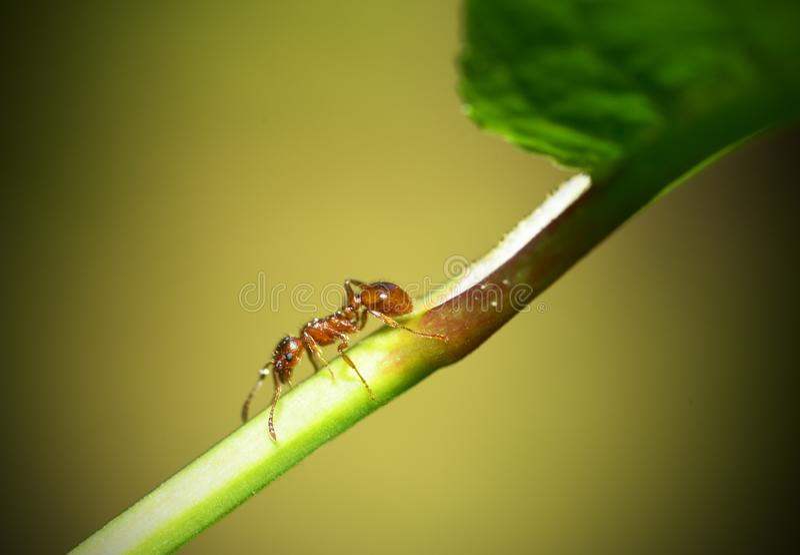 Mrówka biega na sprig trawa obrazy royalty free