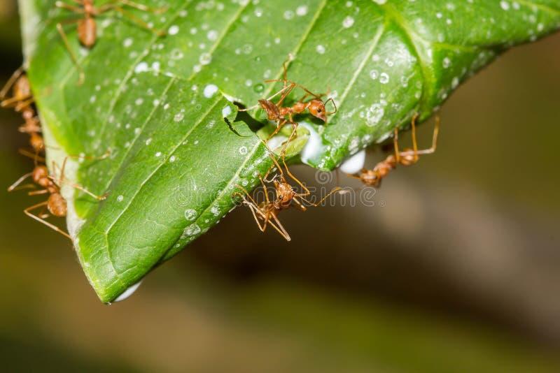 Download Mrówka Gniazduje Na Drzewie, Czerwony Mrówek Gniazdować Zdjęcie Stock - Obraz złożonej z zbliżenie, pojęcie: 53789734