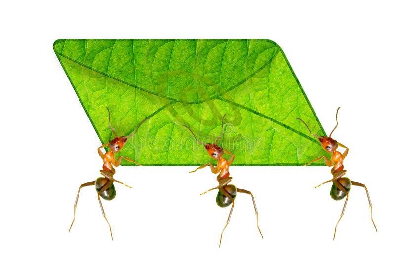 Mrówka goniec zdjęcia stock