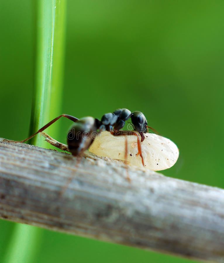 mrówka kokon obraz stock