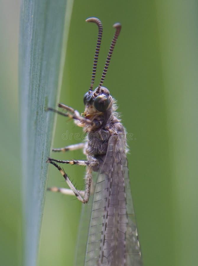 mrówka lew fotografia stock