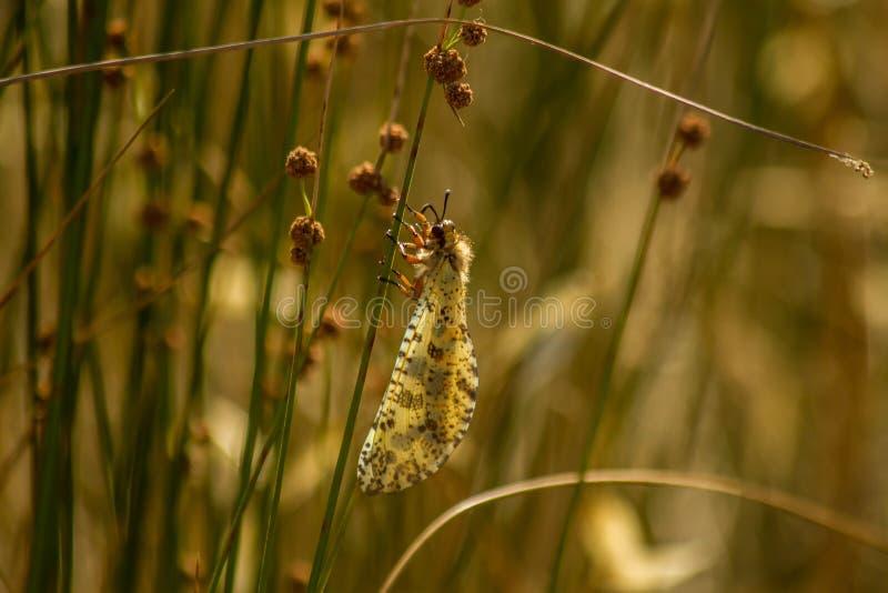 Mrówka lew Palperes Hispanus obraz royalty free