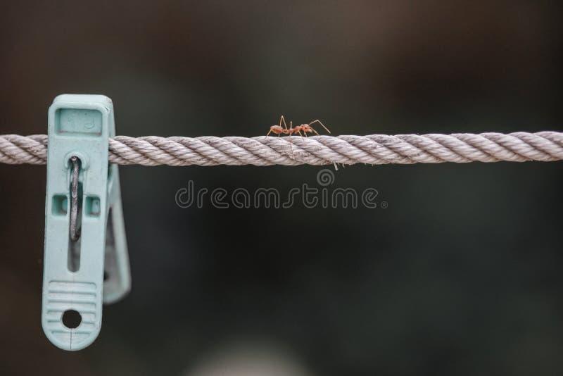 Mrówka na arkanie zdjęcie royalty free