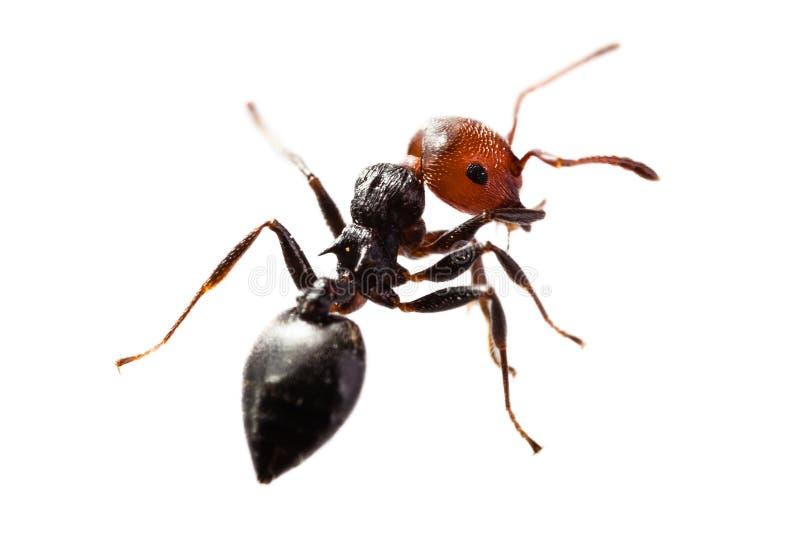 Mrówka na bielu obraz royalty free