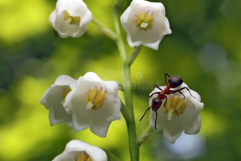 Mrówka na lelui dolina kwiaty fotografia royalty free