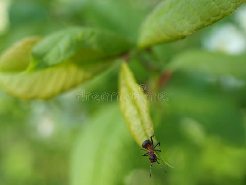 Mrówka na liściu zdjęcie stock
