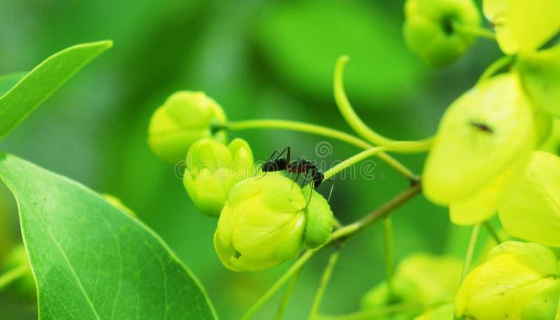 Mrówka na Unopend pączku fotografia royalty free