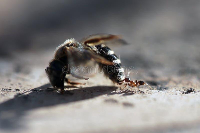 Mrówka niesie nieżywej pszczoły jej gniazdeczko zdjęcia royalty free