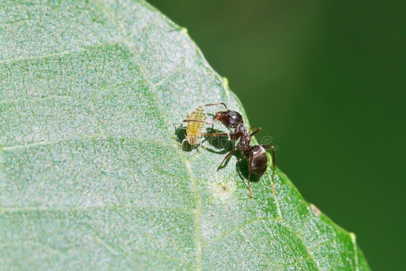 Mrówka pasa jeden korówki na liściu orzecha włoskiego drzewo obraz royalty free