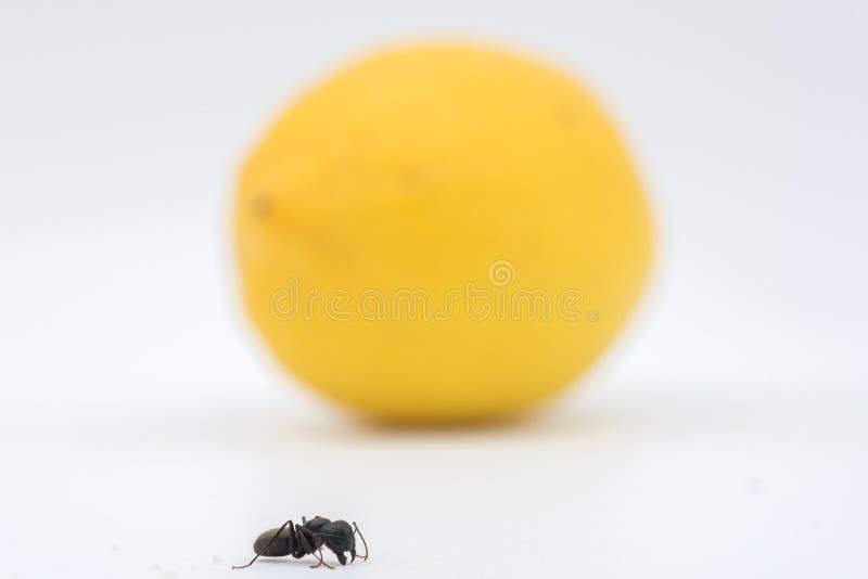 Mrówka przeciw cytrynie i białemu tłu obraz stock
