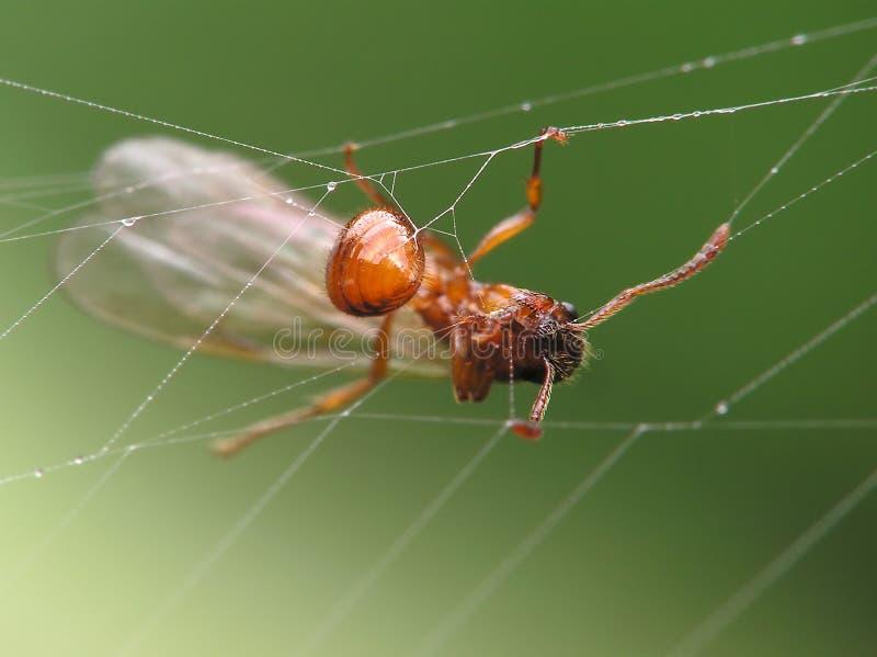 mrówka skrzydlaty stwór zdjęcia stock