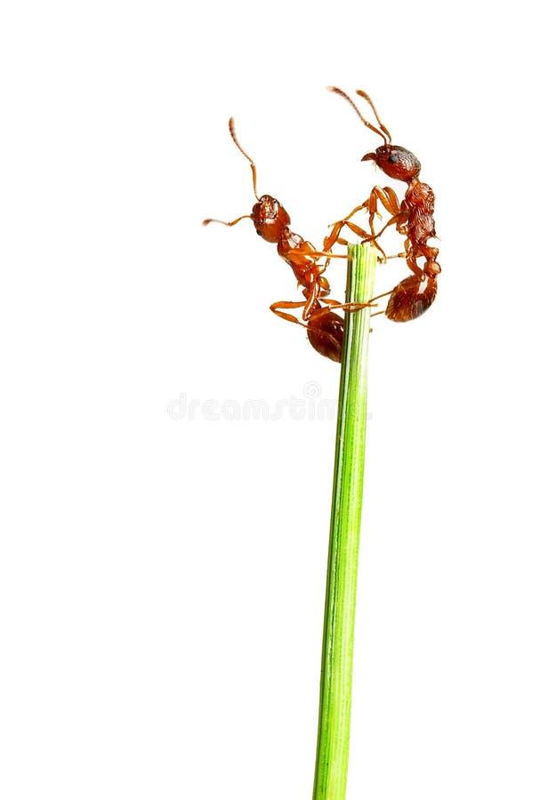 mrówki. obrazy royalty free